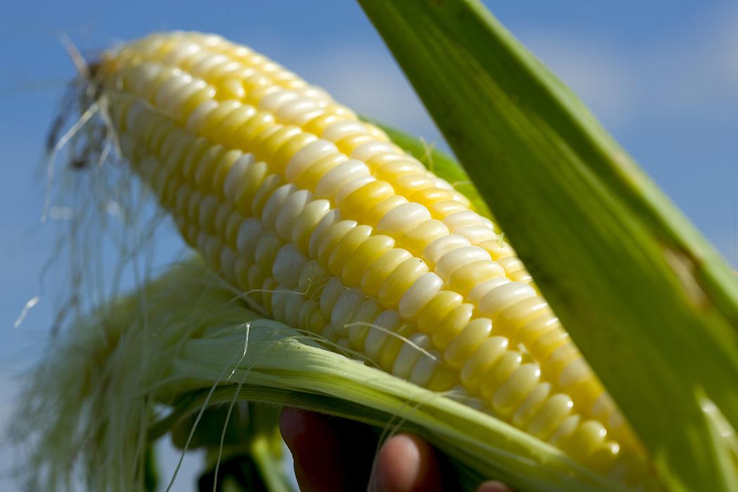 Vraag een boer Wat is het verschil tussen de zoete maïs en maïs veld