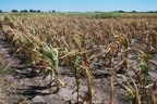 Drought damaged corn