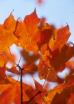 fall leaf04