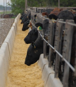 Age and Source photos - Cattle Eating in Feed Yard