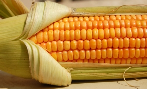 cornhusking