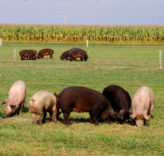 pasture sows