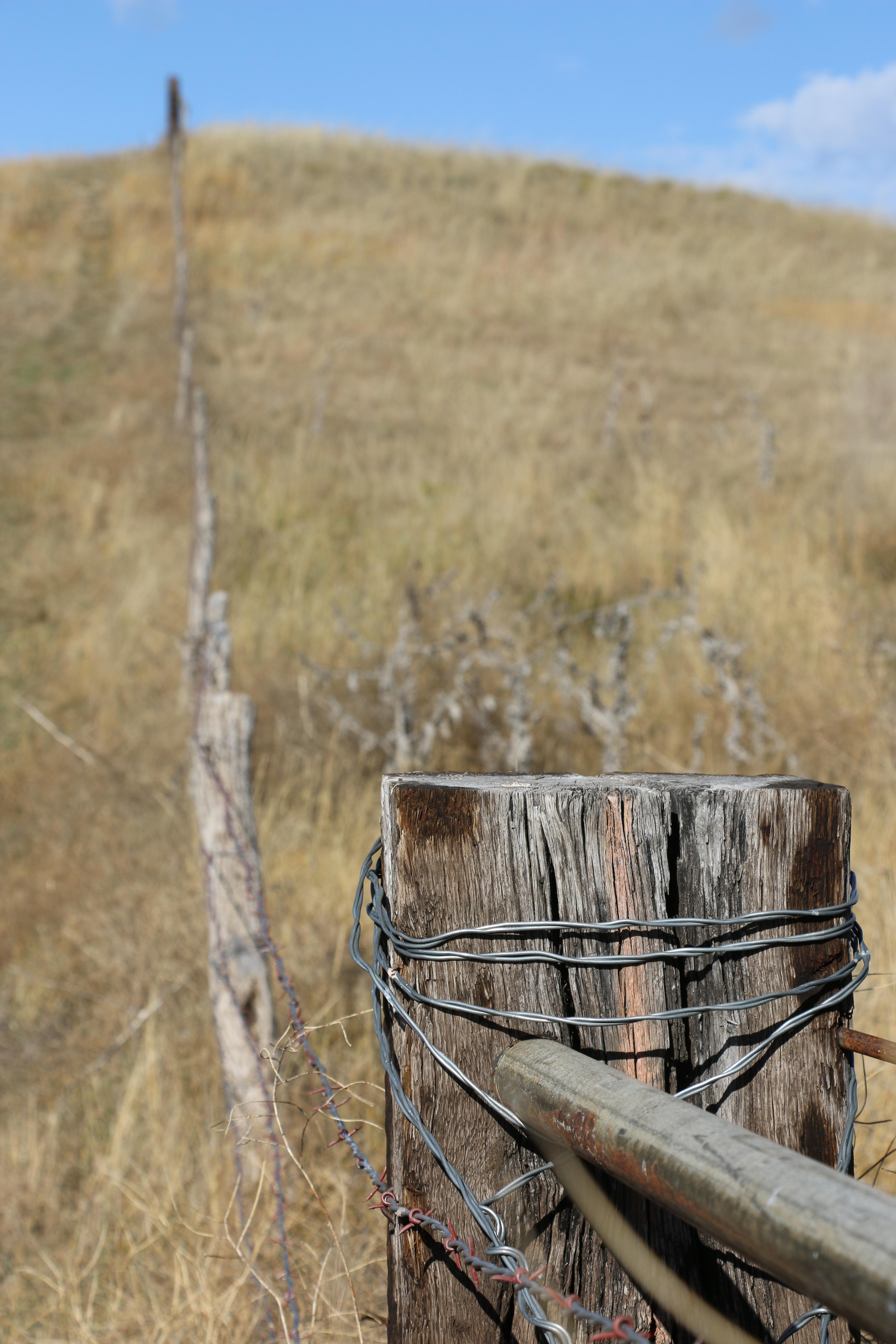 barbed wire fence cattle. Barbed Wire Fence Cattle
