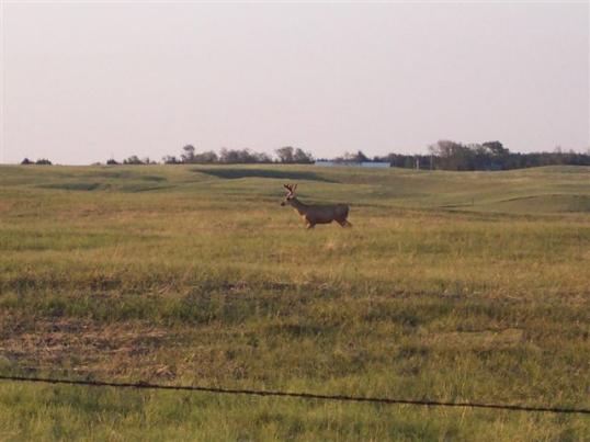 Deer in Hairl damaged field
