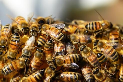 honey-bees-326334_960_720