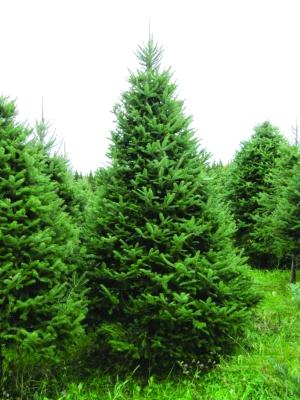 Pg 5 - balsam-fir-tree