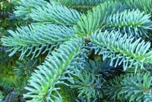 Pg 5 - Blue-Spruce-2-Tree CU