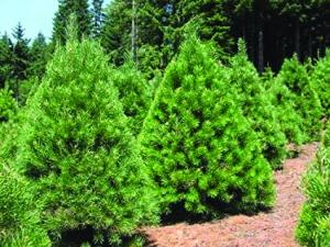 Pg 5 - Scotch Pines