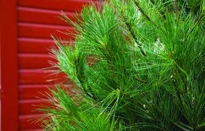 Pg 5 - White Pine Tree-02